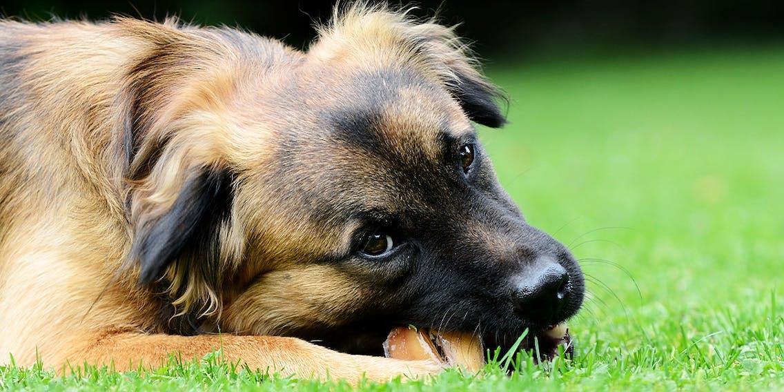 Hund mit Kausnack