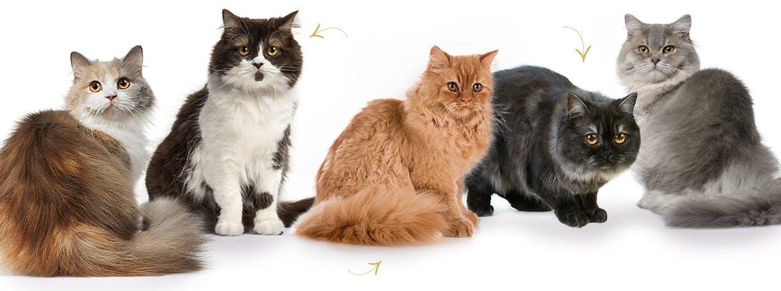 Britisch Langhaar Katzen - Highlander, Lowlander, Britanica