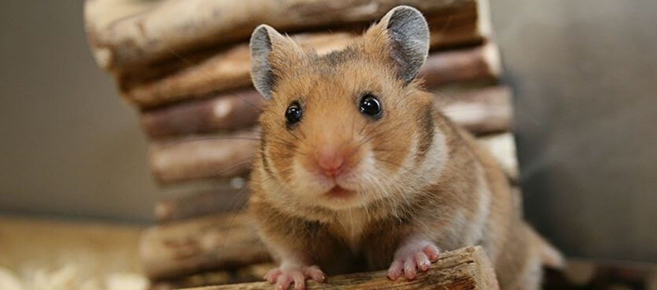 Hamster Laufrad