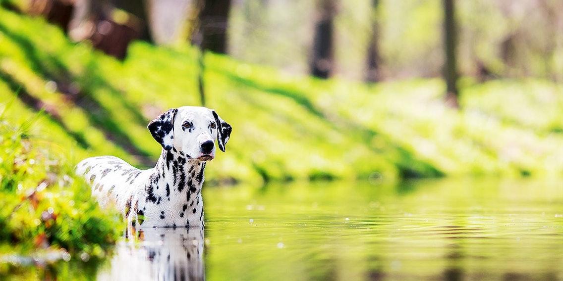 Dalmatiner im Wasser