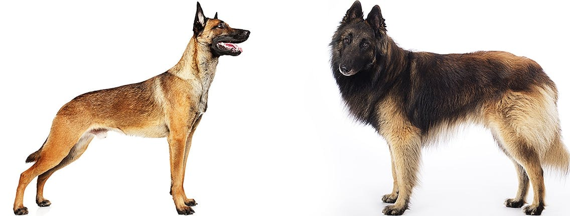 Belgische Schäferhunde Malinois und Tervueren