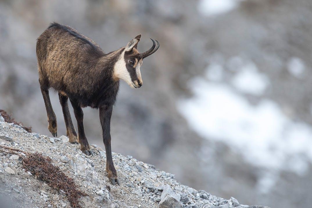 Zernez Gämse im Schweizerischen Nationalpark