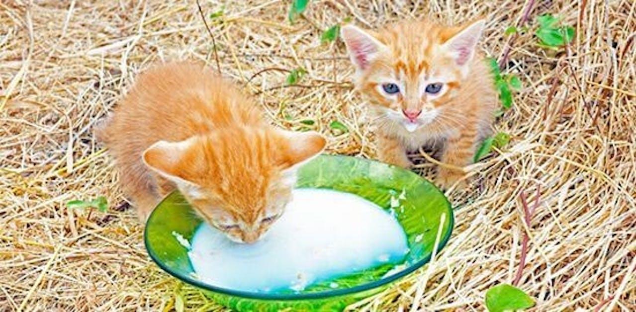 Milch für Kitten