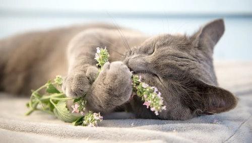 What Is Catnip?   Petstop - Irish Pet