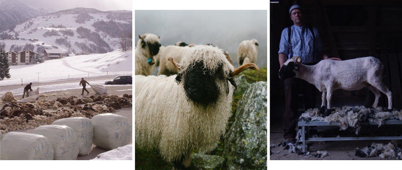Collage di foto di pecore