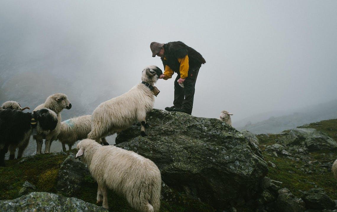 Uomo che accarezza pecora