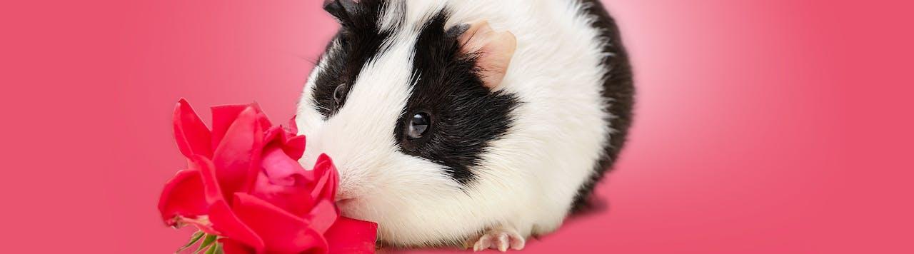 Tierische Tipps für Meerschweinchen