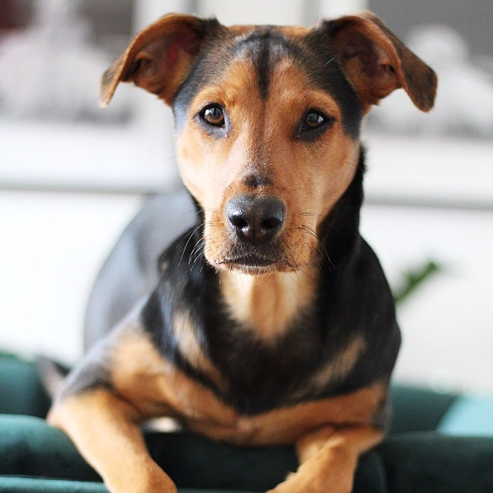 pets Premium Bürohund Pauline