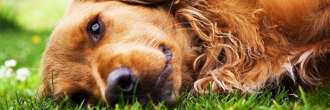 Hormonstörungen beim Hund