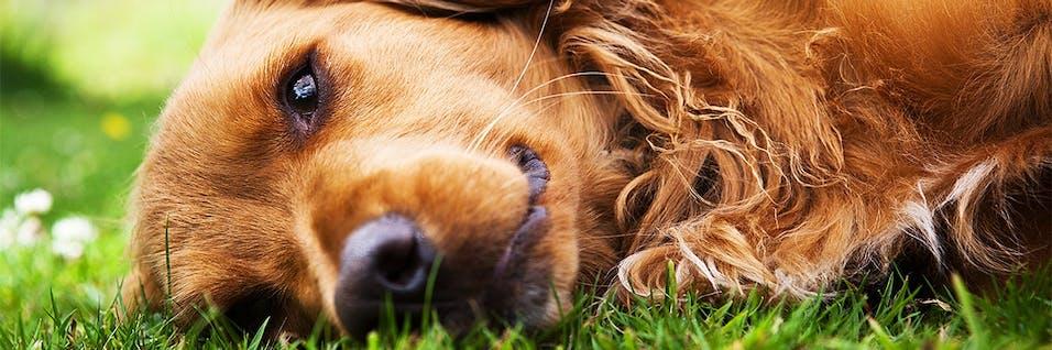 sjukdom hund addison síntomas de diabetes