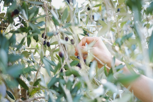 Blurred close-up of an olive tree branches, a person's right hand about to pick olives