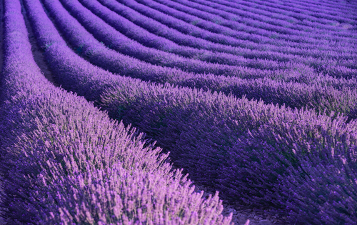 Close up aerial view of purple lavender fields in rows of lavender bushes with pathways between