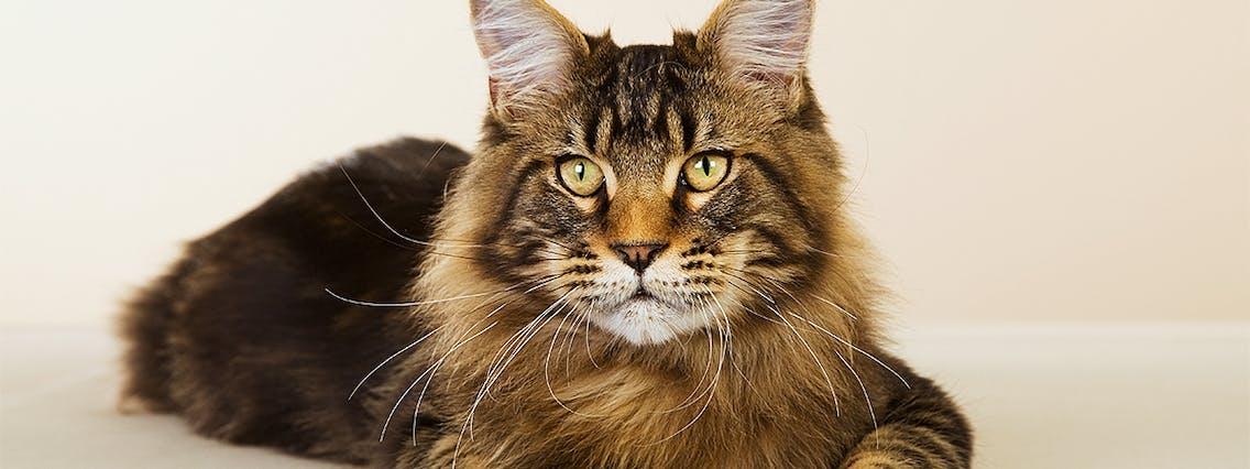 Katzenrasse Main Coon im Portrait