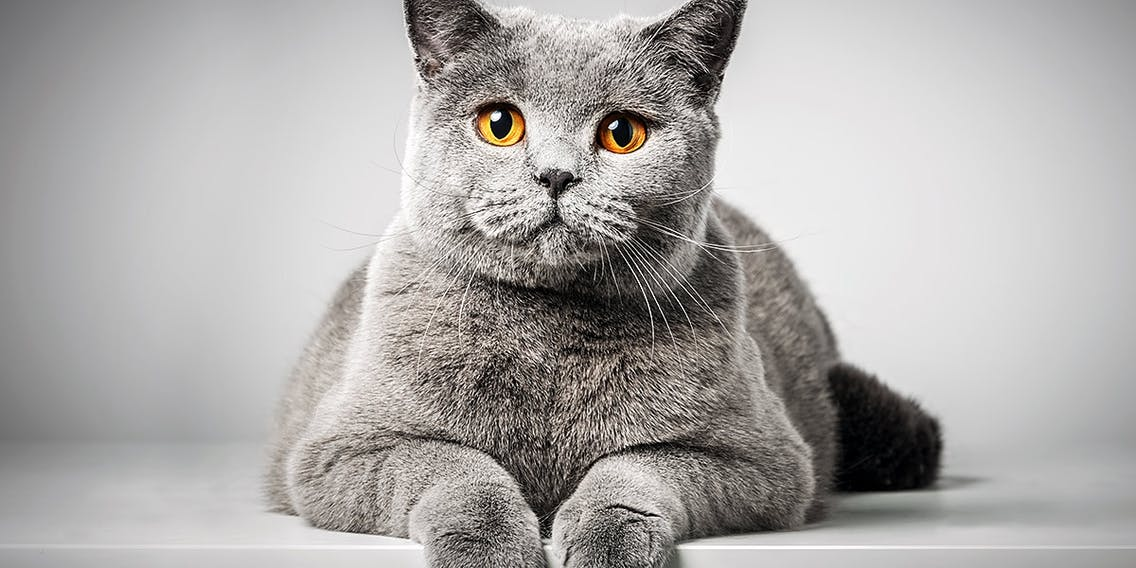 Britisch Kurzhaar Katzenrasse