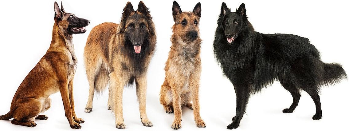 Belgische Schäferhunde Malinois, Tervueren, Laekenois, Groenendael