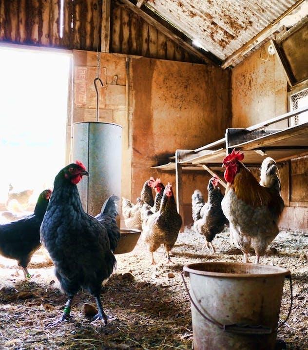 Einige Hühner stehen in einem Hühnerstall