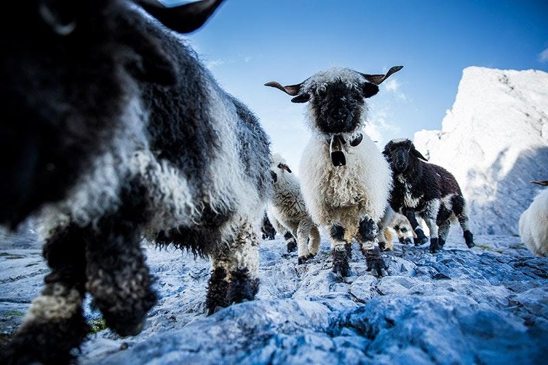 Schweizer Schafe im Alpinen.