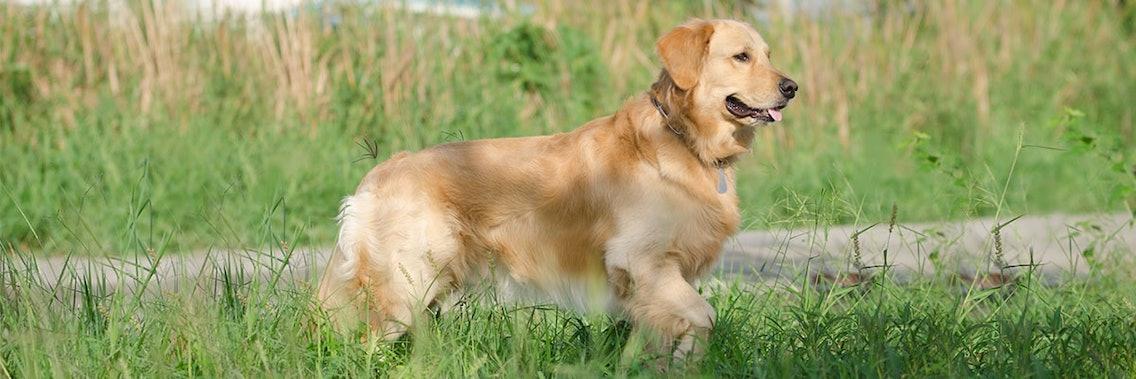 Erwachsener Hund am Beispiel eines Golden Retriever