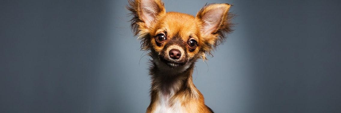 Kryptorchismus beim Hund, zum Beispiel beim Chihuahua