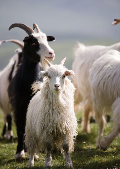 Mehrere Cashmere-Ziegen stehen auf einer grünen Wiese.