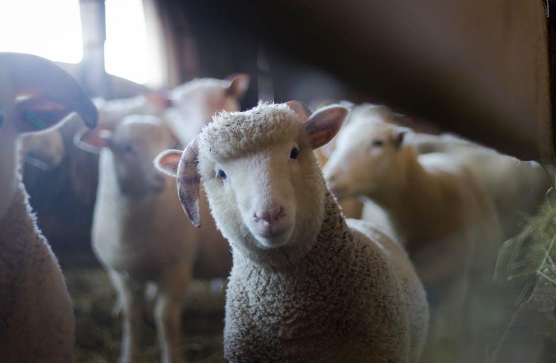 Nahaufnahme eines Schafsherde