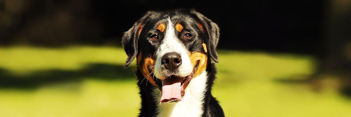 Hunderasse großer Schweizer Sennenhund im Portrait