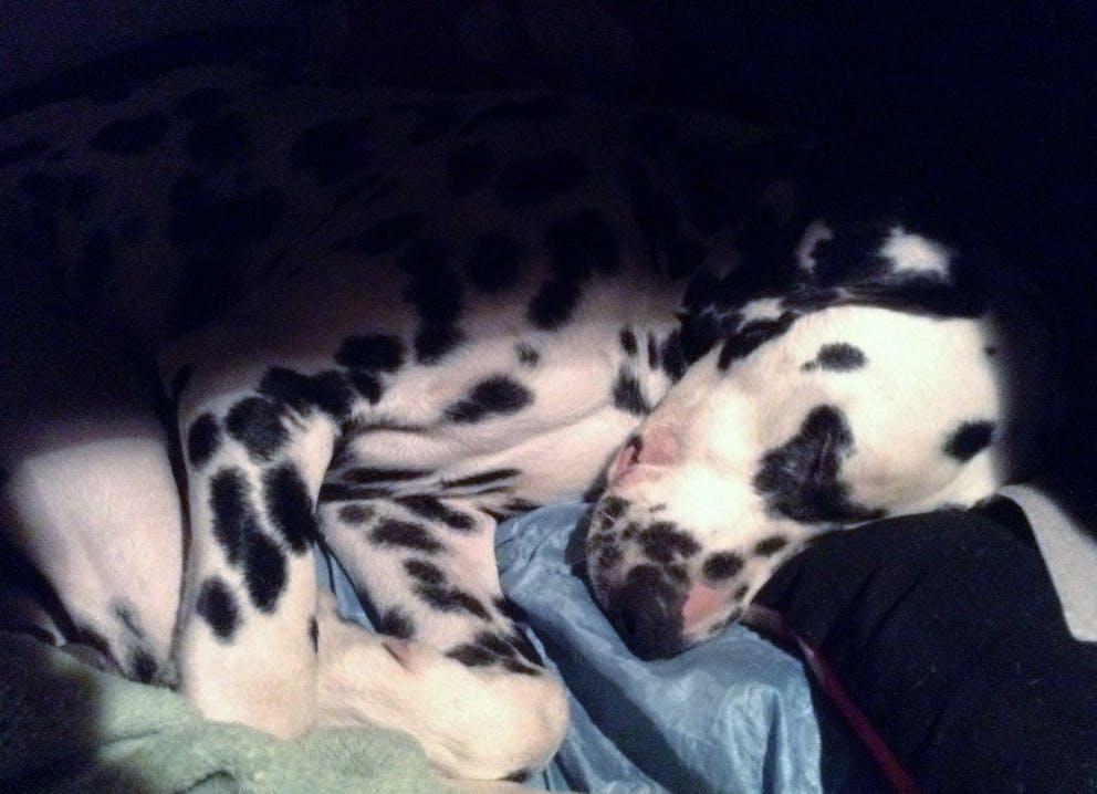 Tauber Dalmatiner Picasso beim Schlafen
