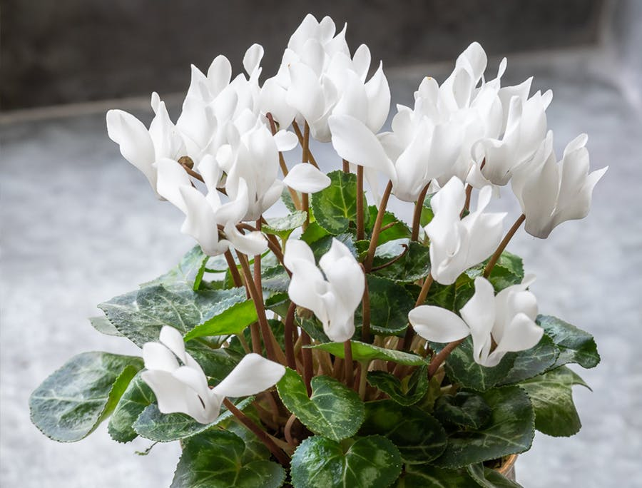 How To Plant Grow Care For Cyclamen Sarah Raven