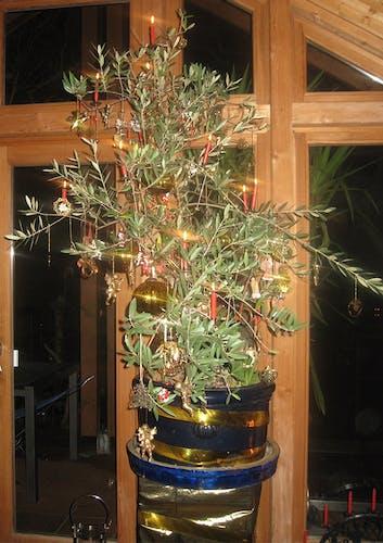 Olivenbaum als Weihnachtsbaum geschmückt.
