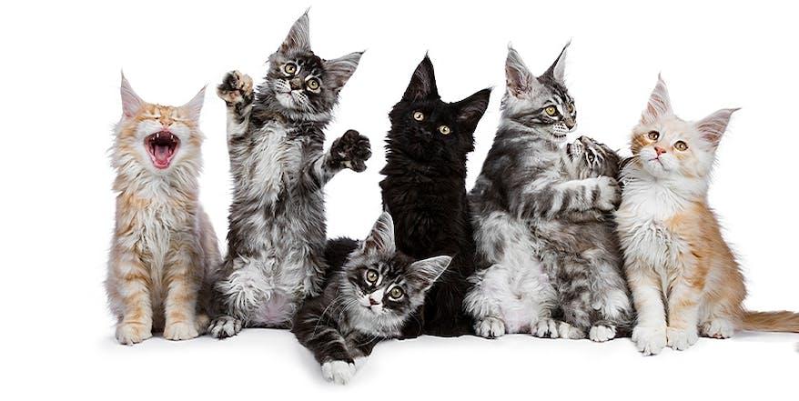Main Coon Katzenwelpen