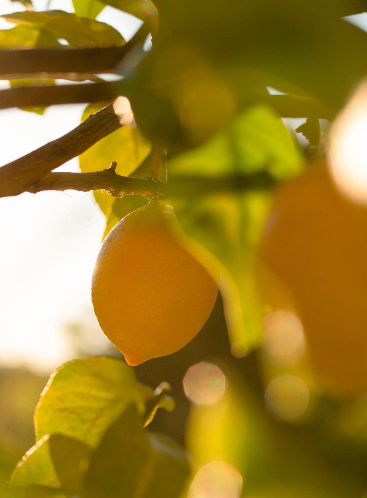 citronnier-fuit-citron