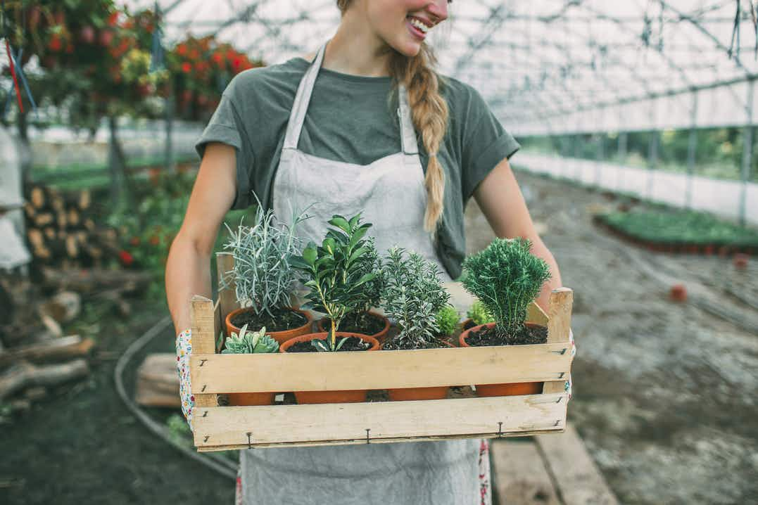 Woman carrying a wooden tray of various herbs in pots, large greenhouse blurred in background