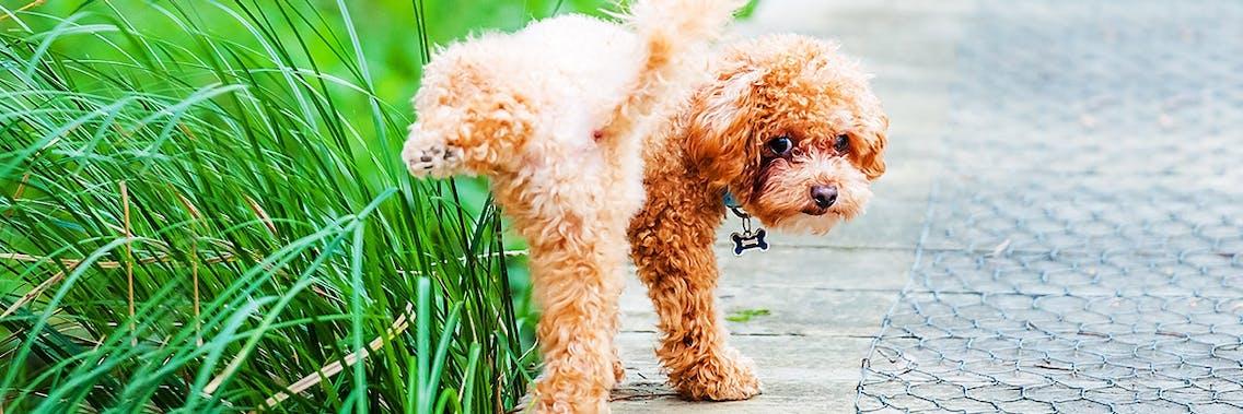 Hund markiert beim Spaziergang