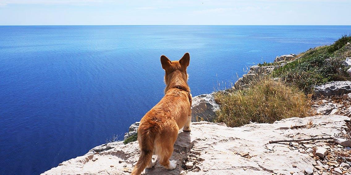 Corgi Hund in Kroatien blickt von Felsküste auf das Meer hinaus