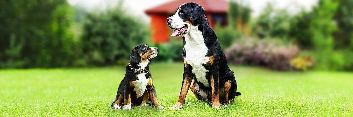 Großer Schweizer Sennenhund Welpe mit ausgewachsenem Hund
