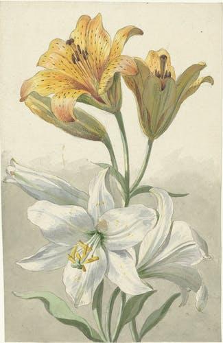 Willem van Leen: Gele en witte lelies (1780)