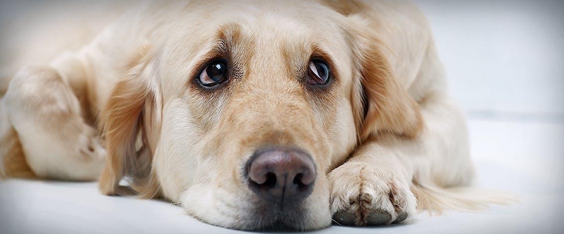 Blähungen beim Hund