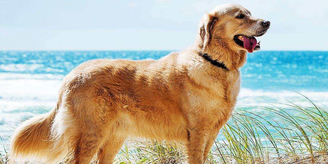 Golden Retriever Hund am Strand