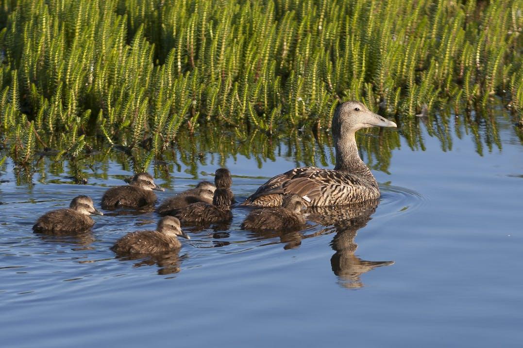 Die Eiderente staffiert das Nest mit ihren besonders feinen und dichten Brustflaumfedern, um das Überleben ihrer Küken unter extremen Wetterbedingungen zu gewährleisten.