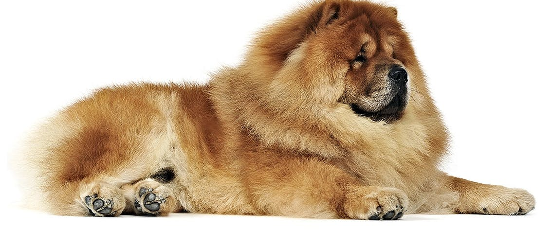 Chow Chow Hund