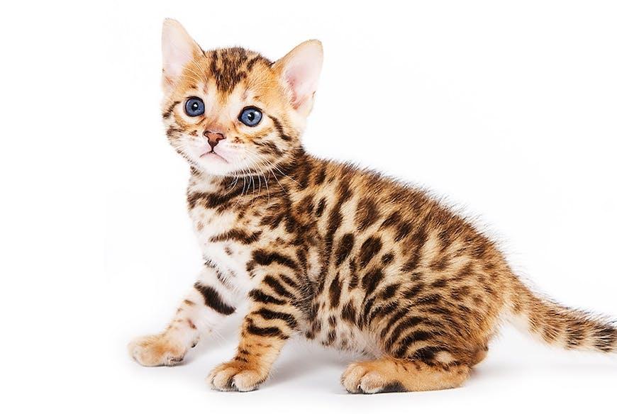 Bengalkatze Kitten
