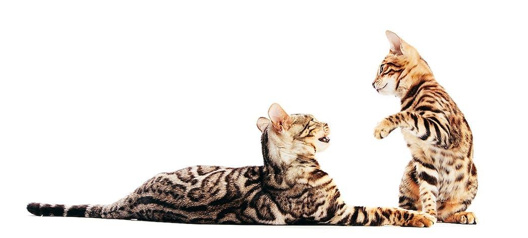 Zwei Bengalkatzen beim Spielen