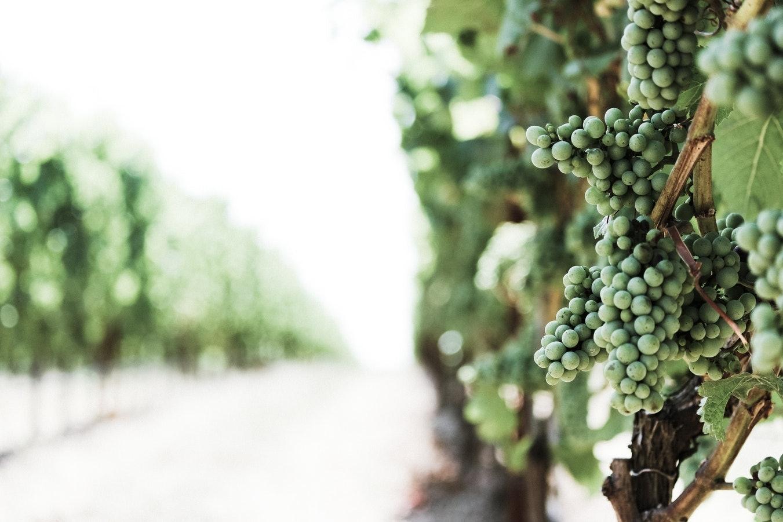Weintrauben in einem Weingut
