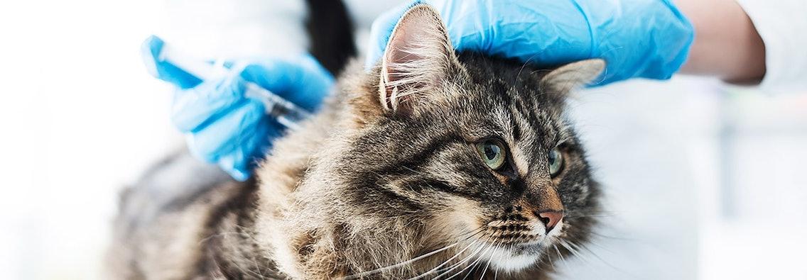Katze beim Impfen