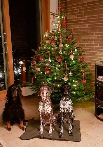 Drei Hunde posieren vor dem Tannenbaum