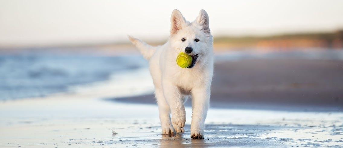 Welpe im Sonnenuntergang mit Tennisball am Strand
