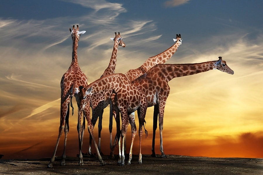 Giraffes and a View