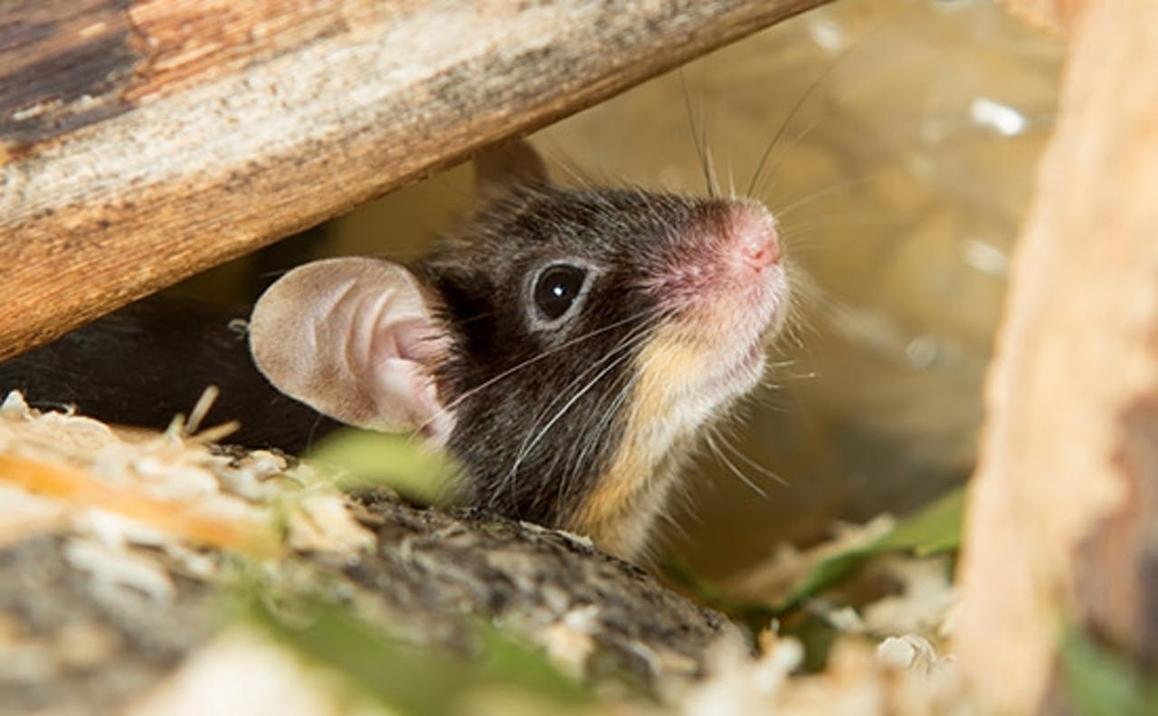 Zahnpflege bei Ratten und Mäusen
