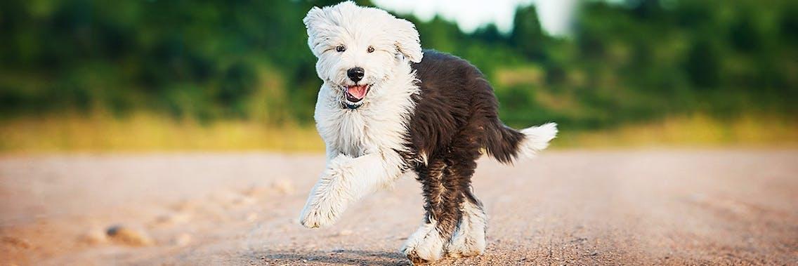 Old English Sheepdog Bobtail Welpe