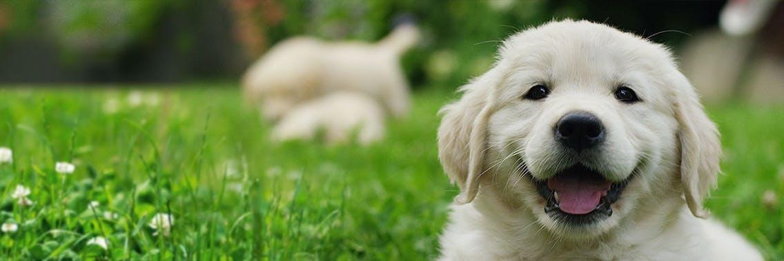 Der Hundewelpe am Beispiel eines Golden Retriever Welpen